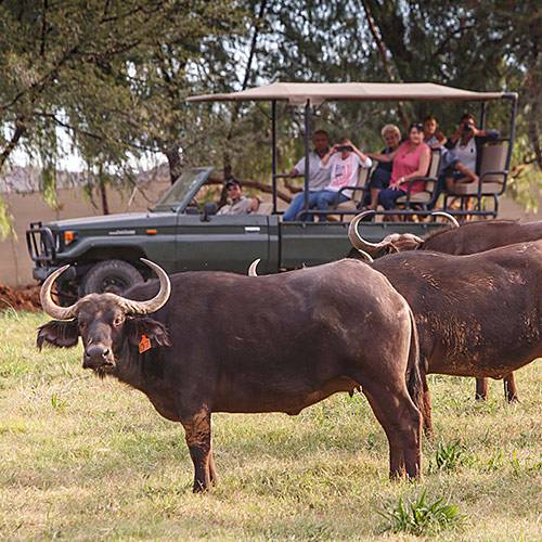 Buffalo experience at Chandelier Game Lodge