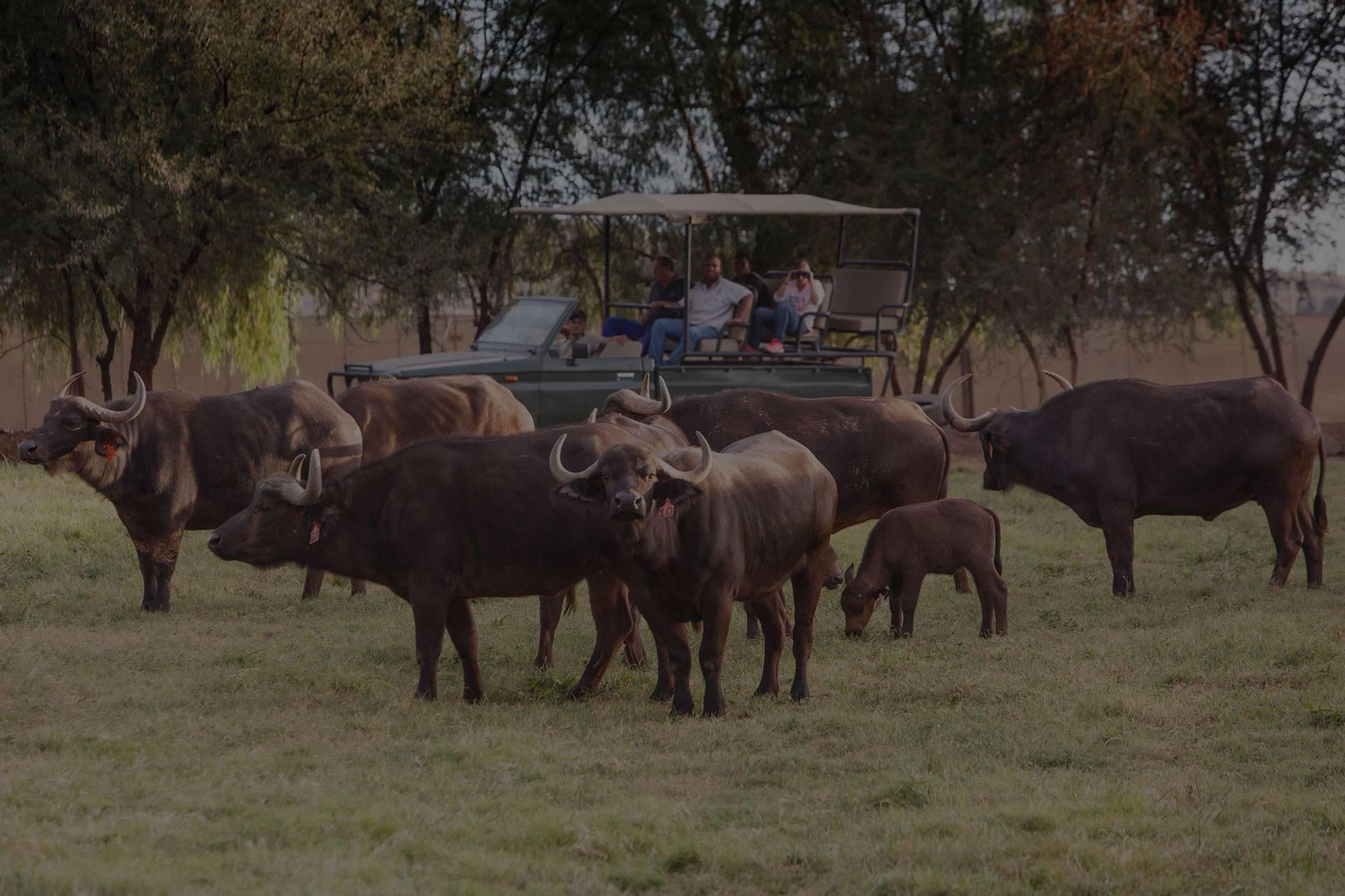 Buffalo experience