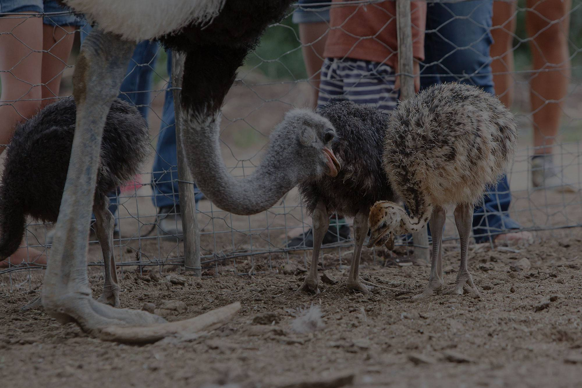 Ostrich Farm Tours at Chandelier