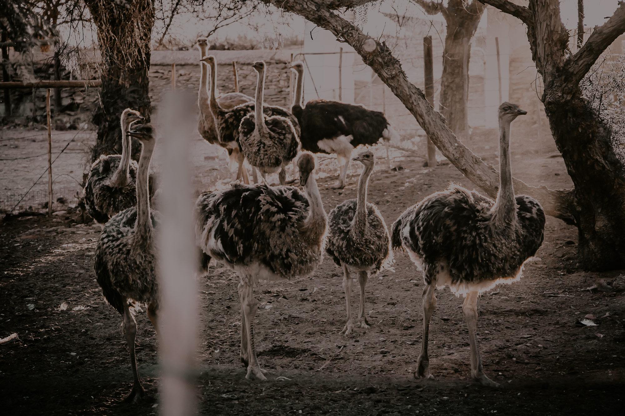 Chandelier Ostrich Show Farm